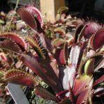 Dionaea géant clip Venus Fly Trap Seeds 10 graines PCS insectivores Jardin Graine de plantes Bonsai Garden Bonsai famille Potted de la marque image 1 produit