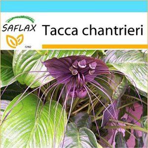 SAFLAX - Kit cadeau - Fleur chauve-souris - 10 graines - Tacca chantrieri de la marque SAFLAX image 0 produit