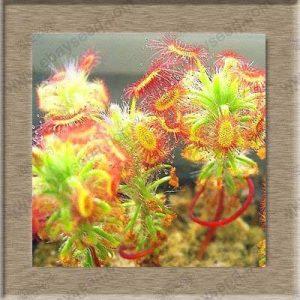 Sundew clip Venus Flytrap Graines semences insectivores Graines Jardin des plantes Bonsai Famille pot-20 graines de la marque SVI image 0 produit
